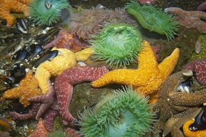 Ochre Sea Star & Giant Green Anemone (Anthopleura xanthogrammica) - In rock pool