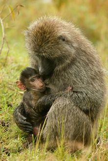 Olive Baboons - mother feeding baby