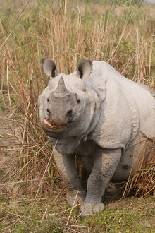 One-horned Rhinoceros - a close up