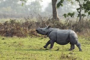 One-horned Rhinoceros - young