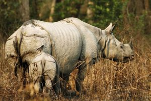 One-horned Rhinoceros - & young