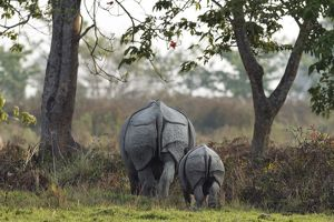 One-horned Rhinoceros - & young one