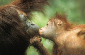 Orang-Utan - baby kissing adult