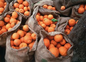 ORANGES IN SACKS - under an olive tree ready for transporting