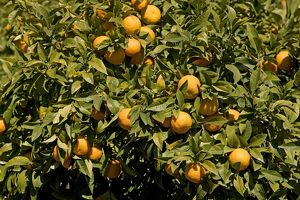 Oranges - on tree
