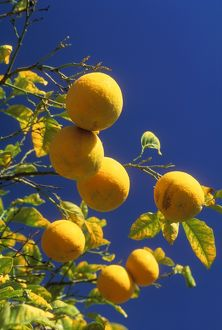 ORANGES - ON TREE WITH LEAVES