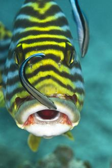 Oriental Sweetlips - being cleaned by two Cleaner Wrasse Fish (Labroides dimidiatus)
