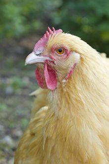 Orpington Buff - Domestic chicken breed