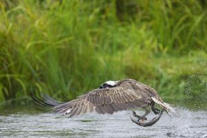 Osprey - Catching Fish