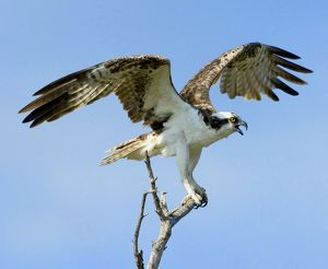 Osprey - with open wings whilst perched