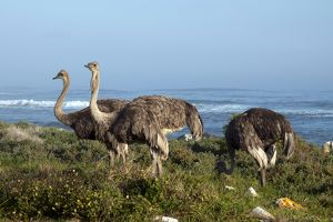 Ostriches foraging in fynbos by coast