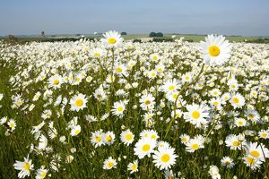 landscapes/ox eye daisies huge mass flowers turned face
