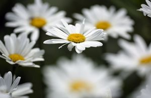 Ox-eye Daisy - flowering in garden