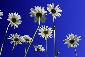 Ox-eye Daisy - flowers against a blue sky