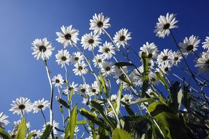 Ox Eye Daisy - flowers against a blue sky
