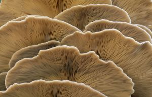 Oyster Mushroom - detailed study of Fungi gills