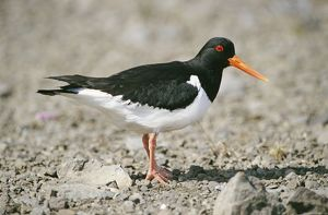 OYSTERCATCHER - side view, on rocky shore