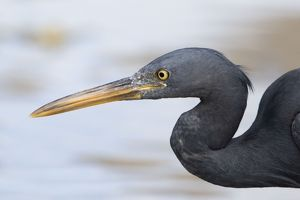 Pacific Reef Heron / Eastern Reef Egret
