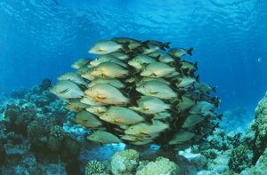 PADDLETAIL SNAPPER SHOAL