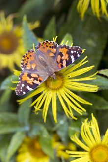 Painted Lady Butterfly - on flower in summer - UK
