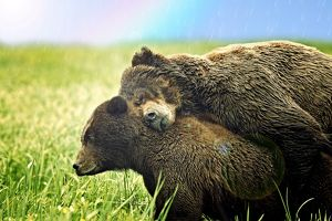 Pair of Grizzly Bears hugging in the rain