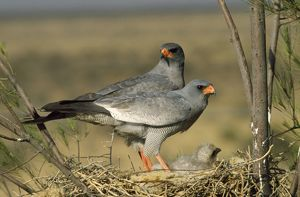 Pale Chanting Goshawk - pair at nest with young