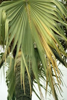 Palm Swift - nest - eggs are glued in with saliva