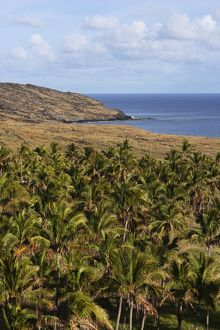 Palm trees, Anakena Bay, Easter Island (Rapa Nui), Chile