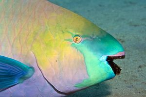 Parrotfish - with algae-filled teeth