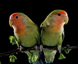 Peach-Faced LOVEBIRDS - two