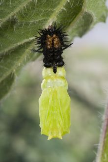 Peacock Butterfly - Caterpillar ready to transform