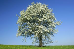 Pear tree - flowering pear tree on a meadow in spring