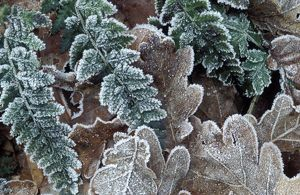 Pedunculate / Common / English OAK - Rimed leaves of oak and fern in frost