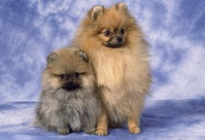 Pekingese Dog - and puppy