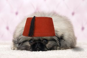 Pekingese puppy dog wearing a red fez hat