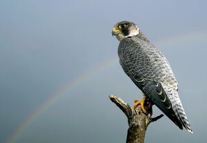 Peregrine Falcon - with rainbow behind