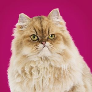 Persian cat with a grumpy or angry expression