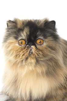 Persian Cat portrait with a confused expression
