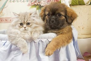 Persian Cat with Tibetan Spaniel puppy
