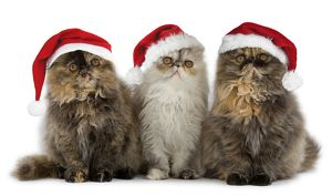 Persian Cats - three sitting in line