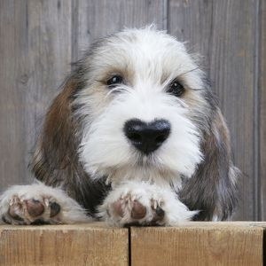 Petit Basset Griffon Vendeen puppy dog with heart shaped nose