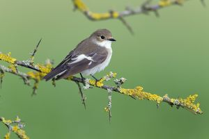 Pied Flycatcher - pale plumage variation