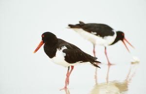 Pied OYSTERCATCHER - X2, feeding at water s edge on