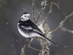 Pied Wagtail in snow January