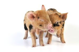 Pig - 1 week old Kune Kune piglets