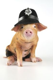 Pig - 2 week old Oxford sandy & black piglet wearing a police helmet