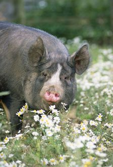 PIG - Berkshire in daisies