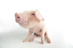 Pig. British lop piglet on white background