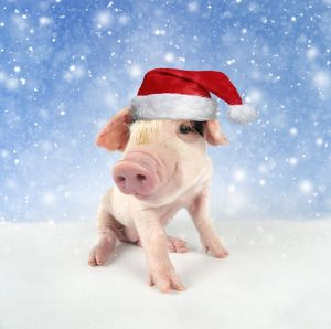 Pig. Gloucester old spot piglet in snow wearing Christma