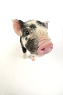 Pig. Kune Kune piglet on white background